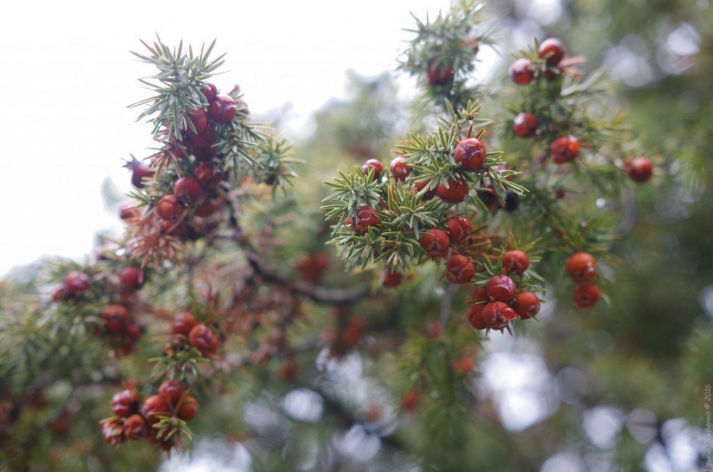Можевеловые ягоды